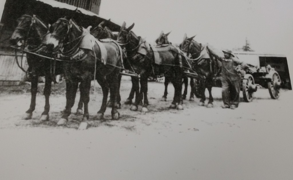 Christian Brubaker (1869-1951) of the 'A-line' of the Brubaker family with his mule team and Conestoga Wagon.